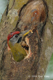 Woodpecker, Laced (male) @ Hindhede