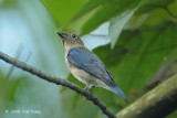 Flycatcher, Blue-and-white (first winter male) @ Hindhede