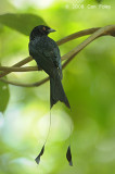 Drongo, Greater Racket-tailed @ Hindhede