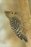 Woodpecker, Buff-rumped (female)