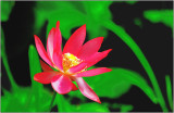 lotus_and_water_lily