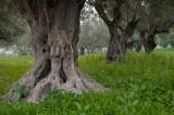 olives_trees