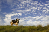 Clouds and cow
