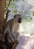 Vervet monkey ( blou-aap)