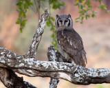 Giant-eagle owl