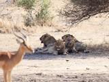 Impala meets lions..... (2)