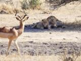 Impala meets lions.....
