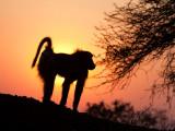 Baboon_ Sunrise