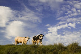 Clouds and cows,  Hengstdijk