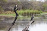 Whitebreasted cormorant,  Lake panic
