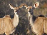 Kudu 's