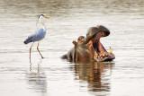 Hippo and grey heron