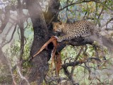 Leopard ( and impala)