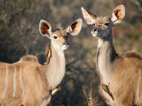 Kudu's ( young male and female)