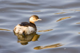 Little grebe _  Dodaars