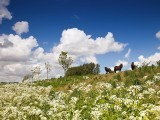 Cow parsley  (fluitekruid) and pony's