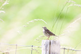 Meadow pipit   (graspieper)