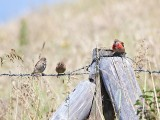 Family of linnets  ( Kneu)