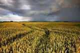Thundery sky above the wheat