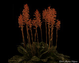 Stenorrhynchos albidomaculatum 'Mello Spirit' CCM/AOS