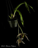 Paphinia posdarum 'Palmetto Star' CHM/AOS