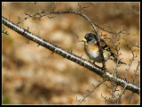 Kvækerfinke