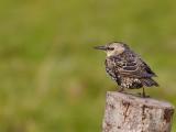 Lone starling