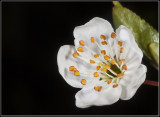 Plum-flower