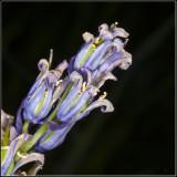 Horselike flower