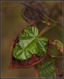 Leaf from hazelnut