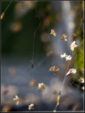 Seeds from betula as festoon