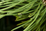 Regndråbe på bjergfyr