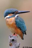 Common Kingfisher DSC_6963