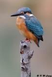 Common Kingfisher DSC_6962