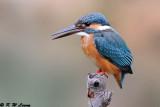 Common Kingfisher DSC_6960