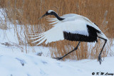 Red-Crowned Crane DSC_9389