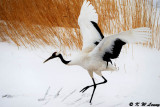 Red-Crowned Crane DSC_9298