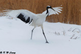Red-Crowned Crane DSC_9358