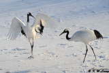 Red-Crowned Crane DSC_9611