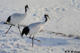 Red-Crowned Crane DSC_9594
