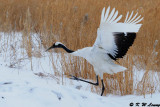 Red-Crowned Crane DSC_9390