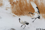 Red-Crowned Crane DSC_9300