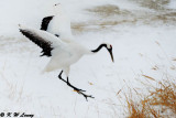 Red-Crowned Crane DSC_9212