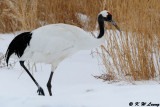 Red-Crowned Crane DSC_9360