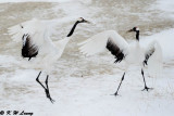 Red-Crowned Crane DSC_9186