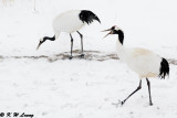 Red-Crowned Crane DSC_9279