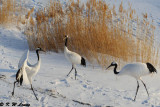 Red-Crowned Crane DSC_9601