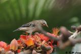 Red-billed Starling (絲光椋鳥)