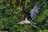 Marabou Stork DSC_2896