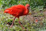 Scarlet Ibis DSC_2745